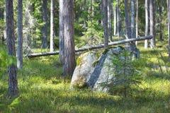 Asp- skog i den tidiga våren i Estland Royaltyfri Fotografi