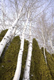 asp som ser upp trees Arkivfoto