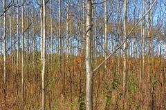 Asp- trä Fotografering för Bildbyråer