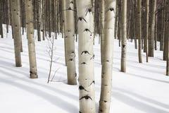 Asp- träd i snö, asp, Colorado Royaltyfri Foto