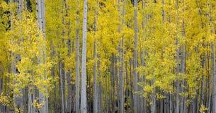Asp- träd med gul folage och vita stammar i nedgången i Colorado royaltyfri foto
