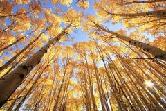 Asp- träd med nedgången färgar, San Juan National Forest, Colorado Royaltyfri Fotografi