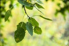 Asp- trädfilial med sidor på en bakgrund av suddiga träd Arkivbild
