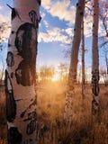 Asp- trädsolnedgång arkivfoto