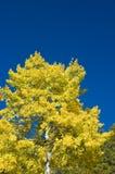 asp- trees för blå sky Arkivbild
