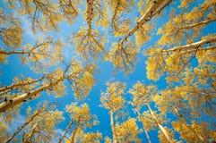 Asp- Treeskog Arkivfoton