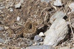 Asp-Viper in seiner natürlichen Umwelt stockbild