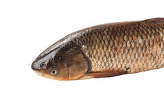 Asp on a white background. Freshwater major raw fish chub on a white background isolated Stock Image