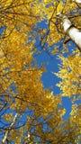 aspar colorado Royaltyfri Fotografi