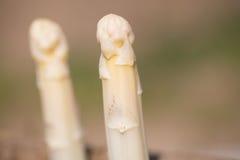 Asparagas branco, colheita do aspargo Fotos de Stock