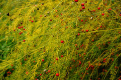 Asparago Fotografie Stock Libere da Diritti