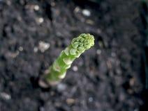 Asparago Immagini Stock
