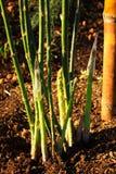 Asparago di agricoltura biologica. Fotografia Stock