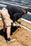 Asparago di raccolto dell'uomo su un campo Fotografie Stock Libere da Diritti