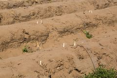 Asparago nel campo, raccolto dell'asparago in Abensberg Immagini Stock