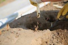 Asparago sotto plastica, raccolto dell'asparago Fotografia Stock
