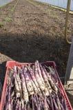 Asparago viola in Italia Fotografia Stock