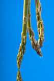 Asparagus 2 Stock Images