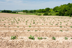 Asparagus agriculture Royalty Free Stock Images