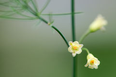 Asparagus (Asparagus officinalis) plant in flower stock photo