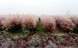 Asparagus in autumn with hoar frost Stock Photos