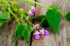 Asparagus Beans, Leaves and Flowers Royalty Free Stock Photo