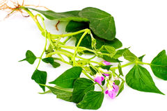 Asparagus Beans, Leaves and Flowers Stock Photos