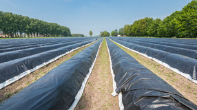 Asparagus beds covered with black plastic foil Stock Images
