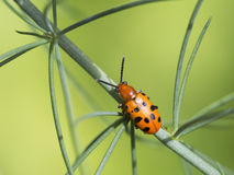 The asparagus beetle Stock Photos