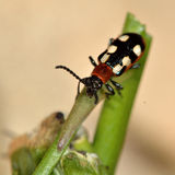 Asparagus beetle (Crioceris asparagi) on damaged stem of vegetable Stock Photos