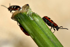 Asparagus beetles (Crioceris asparagi) on damaged stem of vegetable Royalty Free Stock Photos