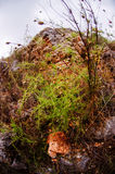 Asparagus brachyphyllus, rare plant on Bulgarian coast Royalty Free Stock Image
