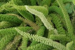 Free Asparagus Densiflorus Stock Images - 13755154