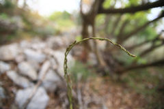 asparagus dziki Zdjęcie Royalty Free