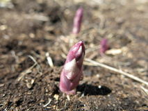 Asparagus Emerging In Spring Royalty Free Stock Photography