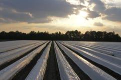 Asparagus farm. A dutch asparagus farm in the Netherlands Stock Photo