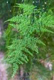 Asparagus fern Stock Images