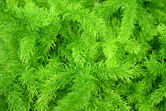 Asparagus Fern - Asparagus densiflorusem (Kunth) Jessop Green nature background Royalty Free Stock Photography