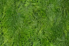 Asparagus fern background Stock Photos