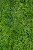 Asparagus fern background Royalty Free Stock Photography