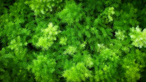 Asparagus Fern Royalty Free Stock Images