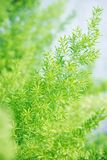 Asparagus Fern Royalty Free Stock Photo