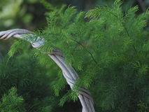 Asparagus Fern Stock Photography