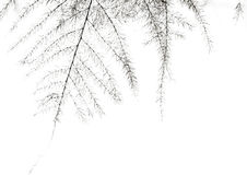Asparagus fern  leaf Stock Images