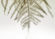 Asparagus fern  leaf Royalty Free Stock Images