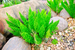 Asparagus Fern. Royalty Free Stock Photos