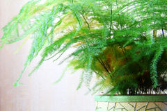 Asparagus fern pot Stock Images