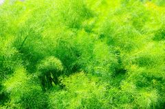 Asparagus fern. Royalty Free Stock Images