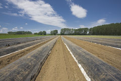 Asparagus field Royalty Free Stock Images