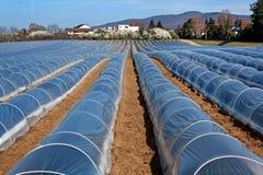 Asparagus field stock image